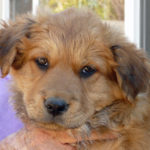 German Shepherd golden retriever mix puppies for sale