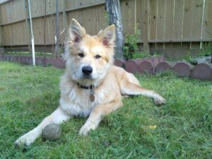 German Shepherd golden retriever mix temperament