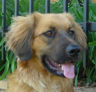 German Shepherd Golden Retriever Mix 1001doggycom