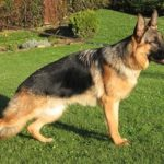 German Shepherd hip dysplasia test