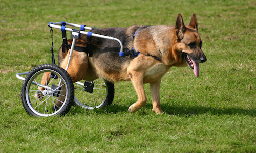German Shepherd hip dysplasia treatment