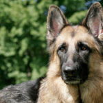 German Shepherd history facts
