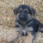German Shepherd puppy training 6 weeks