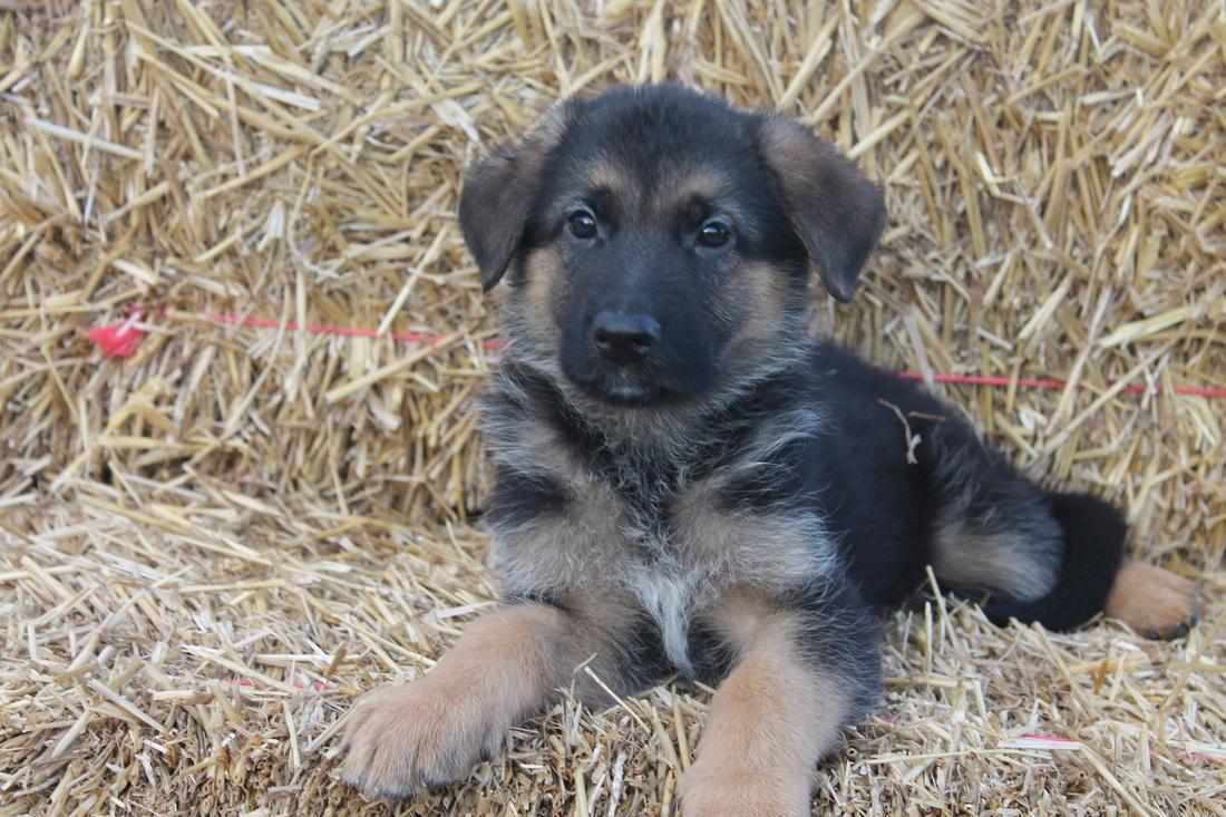 German Shepherd puppy training 6 weeks