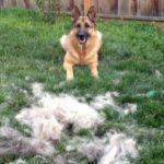 German Shepherd shedding