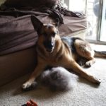 German Shepherd shedding solution