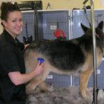 German Shepherd shedding tips
