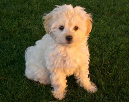Golden Retriever Shih Tzu cross
