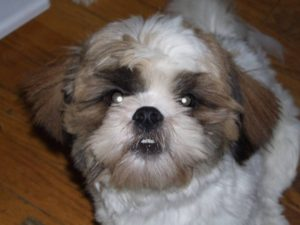 Golden Retriever Shih Tzu mix pictures