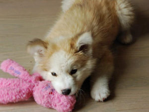 Golden Retriever Siberian Husky mix for sale