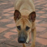 Great dane German Shepherd mix lifespan