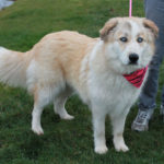 Great Pyrenees and Husky mix