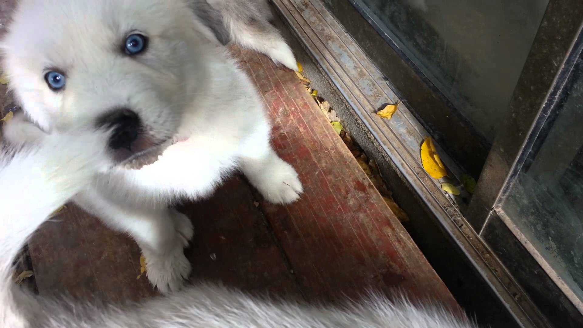 Great Pyrenees Husky mix for sale