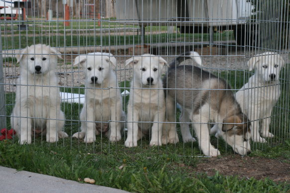 Great Pyrenees Husky mix puppies for sale