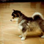 Half Pomeranian half Husky