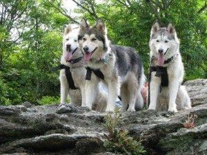 Half wolf half Husky puppies for sale