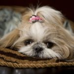 Health problems with Shih Tzu