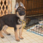 how much should a 9 week old German Shepherd weight