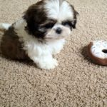 How to train a 9 week old Shih Tzu