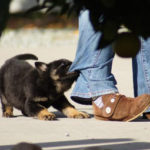 how to train a German Shepherd puppy to attack