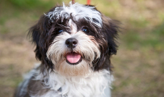 How to train a Shi Tzu puppy to poop outside