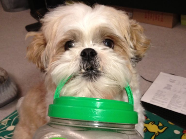 How to train a Shih Tzu to do tricks