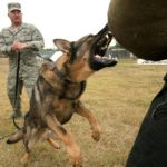 how to train German Shepherd to attack on command