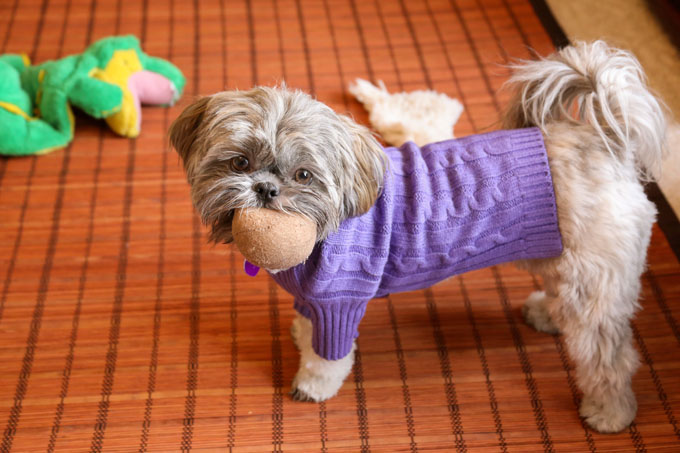 How to train your Shih Tzu