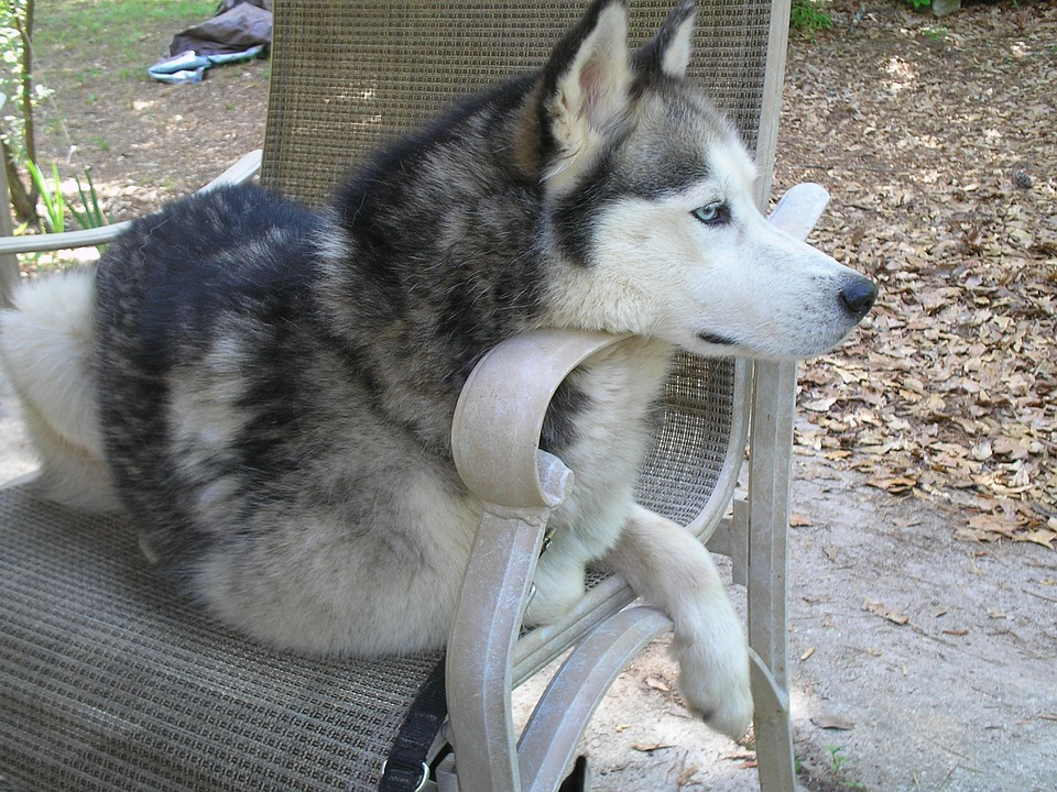 Huskies and hip dysplasia