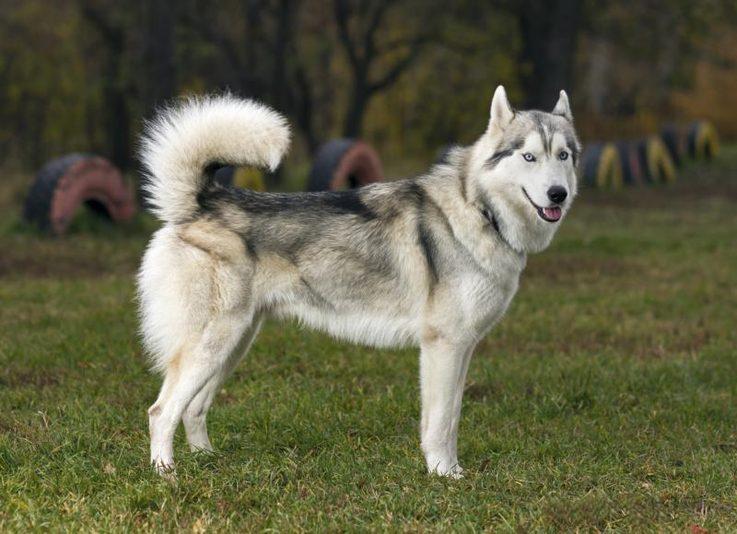 Huskies wolf mix