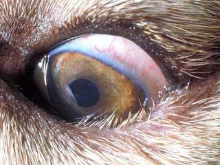 Husky eye Disease