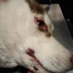 Husky eye infection