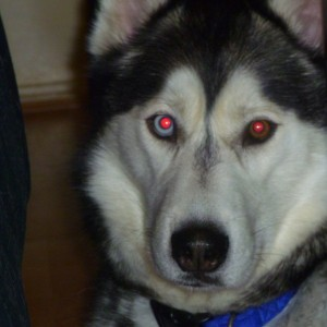 Husky Eye Problems Possible Eye Diseases And Tips For Caring