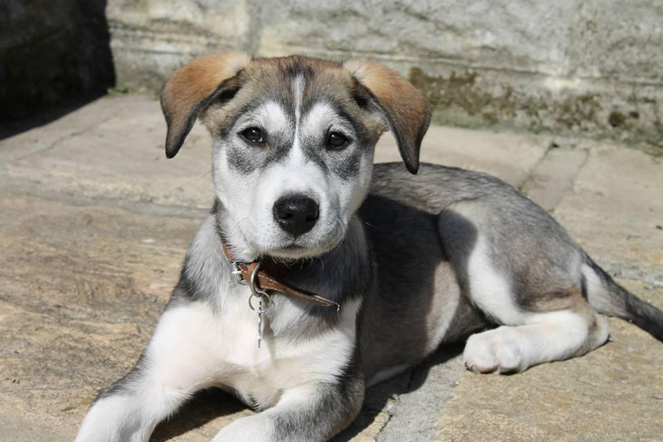 Husky labrador