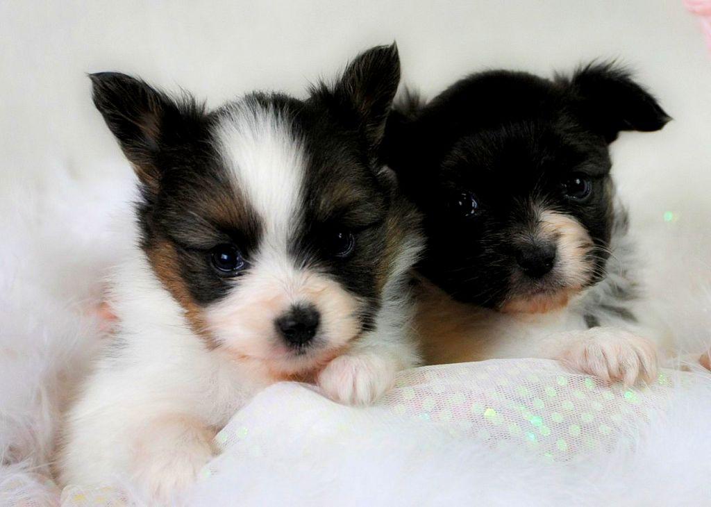 Husky pomeranian puppies