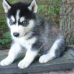 Husky wolf mix for sale
