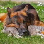 interesting facts about German Shepherd