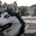 Interesting facts about Siberian Huskies