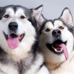 Interesting facts about the Siberian Husky