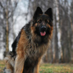 lifespan of a German Shepherd dog