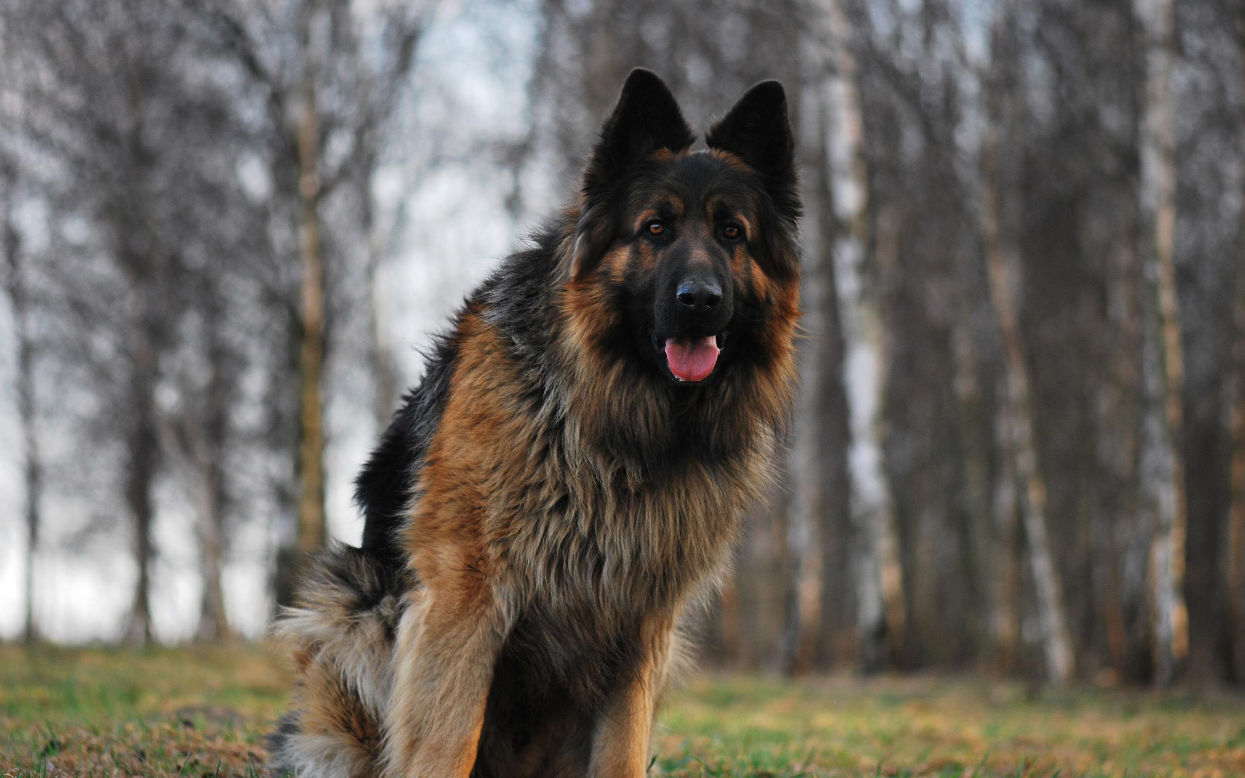 lifespan of a German Shepherd dog