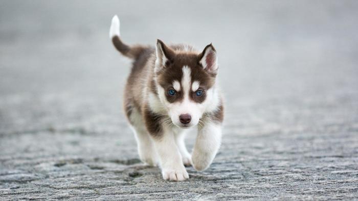 Miniature Siberian Husky facts