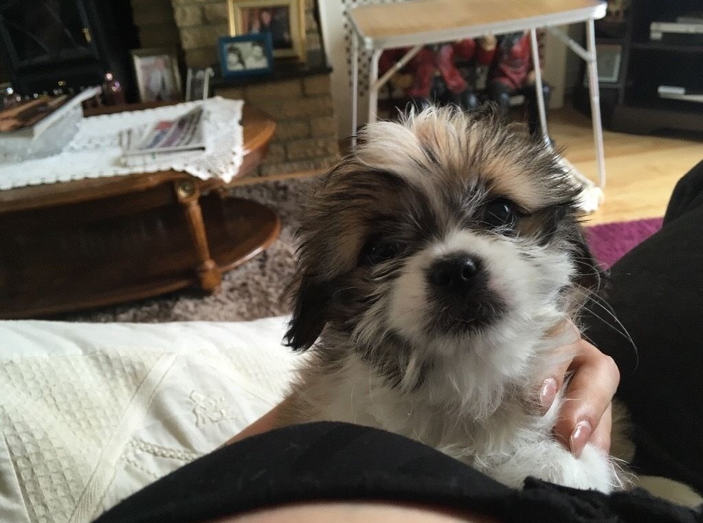 My 9 week old Shih Tzu is constipated