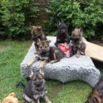 pictures of 10 week old German Shepherd puppies