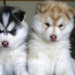 Pomeranian Husky mix puppies for sale