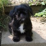 Pug cross Shih Tzu