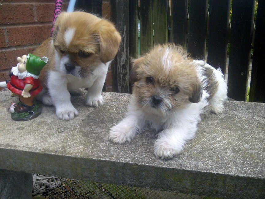 Pug cross Shih Tzu puppies