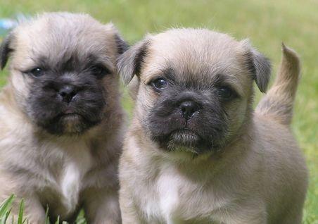 Pug Shih Tzu puppies