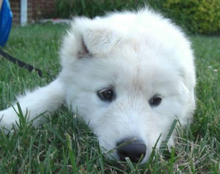 Pyrenees Husky puppies