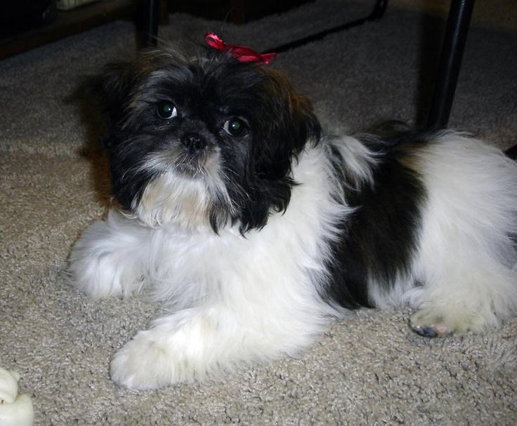 4 month old shih tzu 4 months old shih tzu average size weight and products 9339